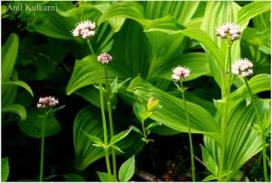 Sitka Valerian Wildflower.