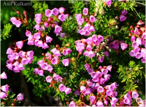 Pink Mountain Heather Wildflower.