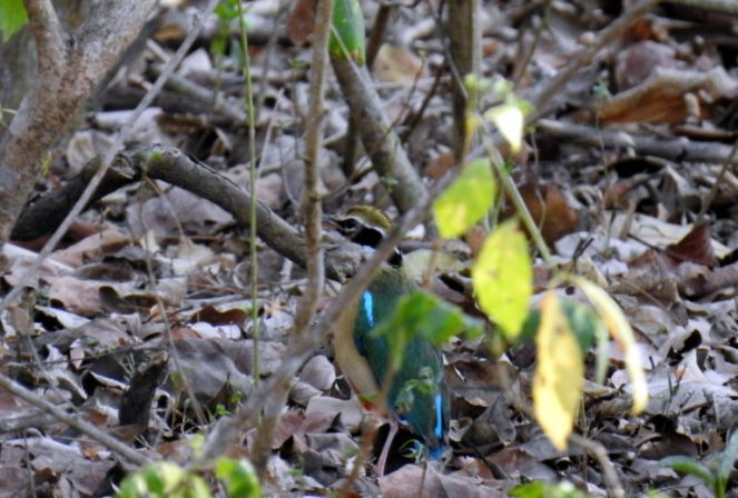The Indian pitta was too quick for my camera