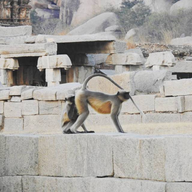 Gray langurs also known as the Hanuman langurs are commonlyhellip