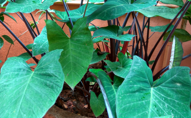 Colacasia leaves