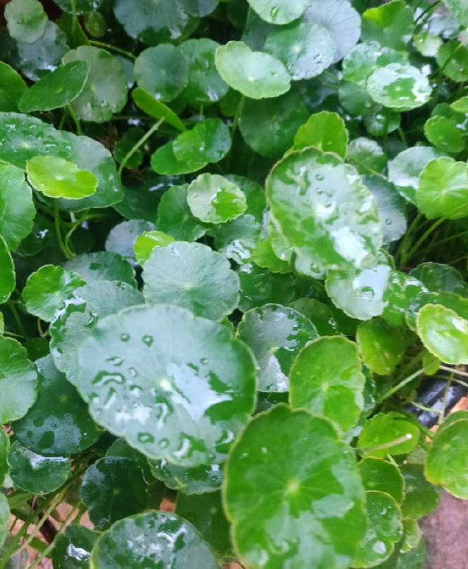 A closer look at Brahmi leaves