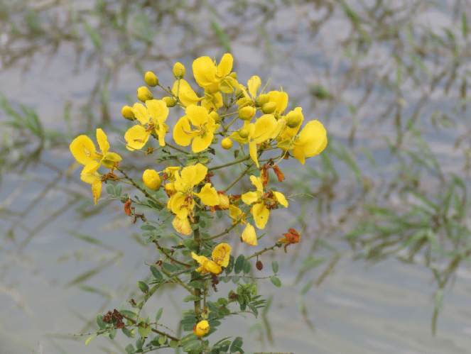 Flowers leading to the path adjacent to Bettakote Lake