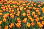 tulips.11 009
