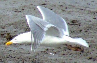 glaucous winged