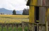 yellow barn and tulips