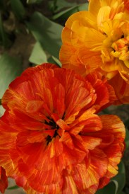 2014-04-15 Tulips-14 077