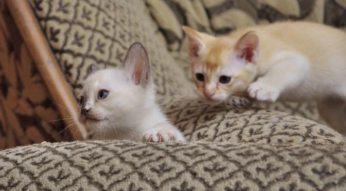 Koty tonkijskie, miot N1 – różne scenki