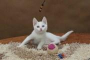 Ważka - kotka Afrodyty (krótkowłosa)