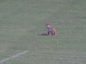 Los zorros se paseaban por enfrente de la casa