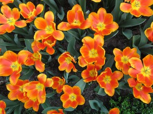 Orange tulips always look bright and cheery!