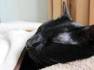"""Fast asleep, Kitty looked serene, peaceful and adorable. While he snoozed, I admired his facial features. Kitty's fine whiskers, tiny nose, tightly shut eyes and """"botak"""" (bald) eyebrows.. He looked so cute! I had to restrain myself from giving him a squeeze! :D"""