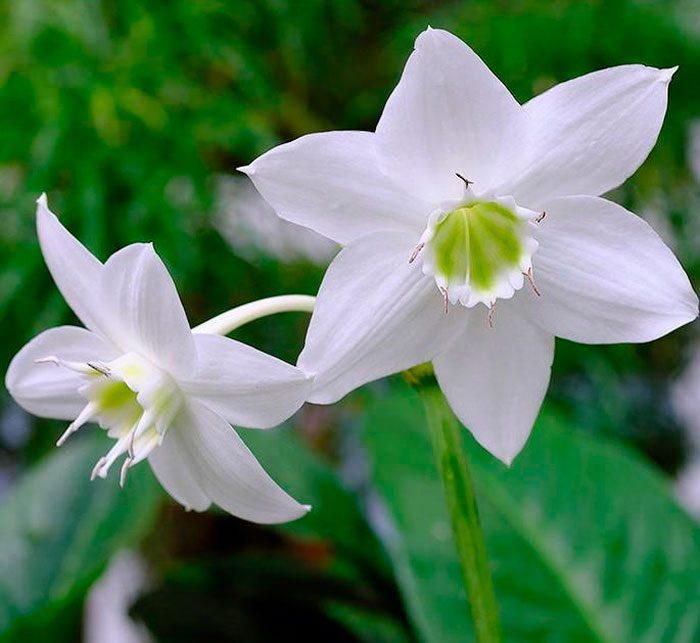 Euharicis besar berbunga