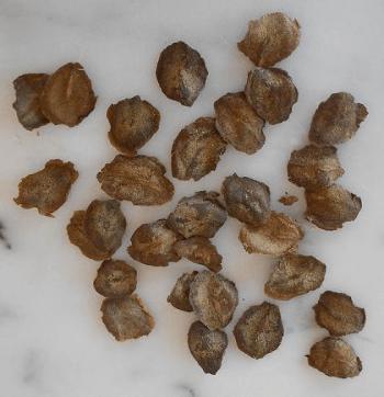 Кобея лазающая выращивание из семян