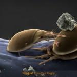 Elektron Mikroskobu: Kıskaç Üzerinde Akarlar