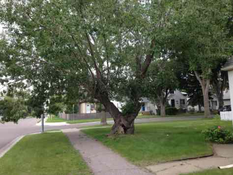 85 st and 116 Ave Tree
