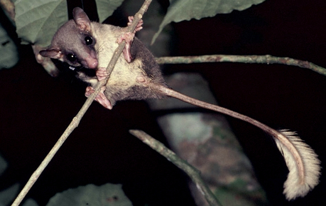 Image result for The Malaysian pen-tailed treeshrew.