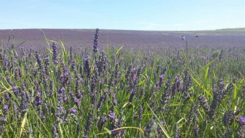 Hitchin Lavender Fields