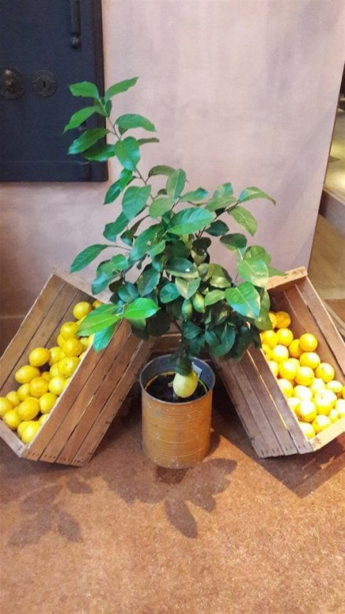 Radici Lemon Tree