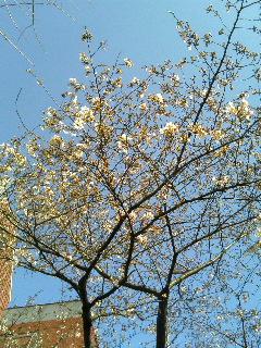 だいぶ咲いてきました(2007年3月26日、携帯で撮影)