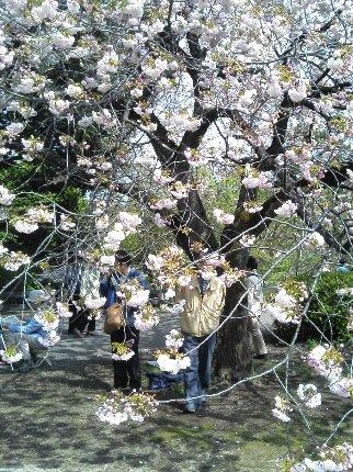 八重桜はダルマのようにまんまるです