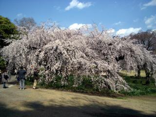 新宿御苑・下の池の脇の枝垂れ桜(2008/03/26昼撮影)