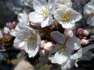 たぶんソメイヨシノ(2008/03/26昼、新宿御苑で撮影)