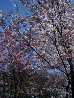 ヨウコウ(2008/03/26昼、新宿御苑で撮影)