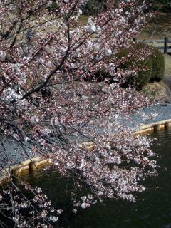 中の池のところの桜(2008/03/26昼、新宿御苑で撮影)