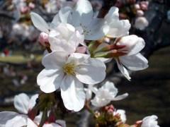ソメイヨシノ(イギリス風景式庭園、2009年3月21日撮影)