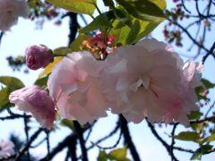 イチヨウ(2009年4月8日昼撮影)