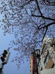 駅前の桜(ソメイヨシノ)