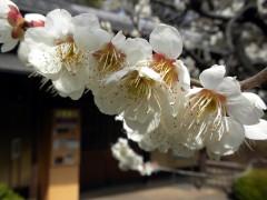 白梅(日本庭園・楽羽亭前)