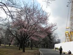 横浜緋桜(温室前)全体はこんな感じ