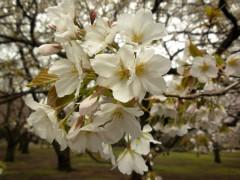 オオシマザクラ(桜園地)