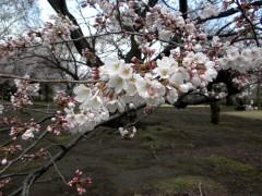 ソメイヨシノ(C5付近)