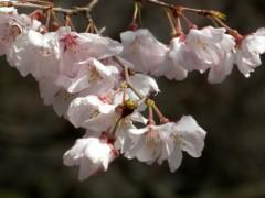 越の彼岸桜(C5付近)