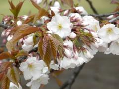 芝生広場の西端似ある桜