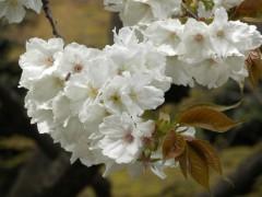 太白(新宿御苑・日本庭園、2010年4月9日撮影)