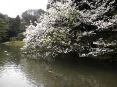 山桜?(新宿御苑・上の池、2010年4月9日撮影)