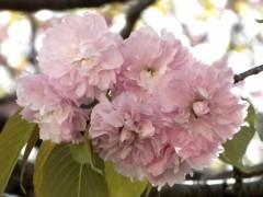 イモセ(新宿御苑・レストランゆりのき付近、2010年4月21日昼撮影)