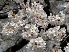 満開のソメイヨシノ(新宿御苑、レストランゆりのき前、2010年4月6日撮影)