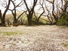 桜の花びらが敷き詰められて(新宿御苑・桜園地、2010年4月9日撮影)