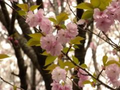 松前早咲=アップ(新宿御苑・桜園地、2010年4月9日撮影)