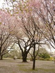 松前早咲(新宿御苑・桜園地、2010年4月9日撮影)