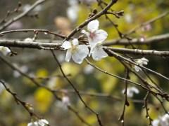 奥多摩むかし道(2)桜