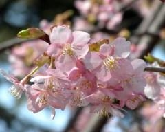 カワヅザクラ その1(新宿御苑・管理事務所前、2011年2月26日撮影)