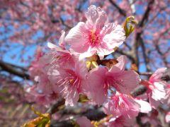 カワヅザクラ 2 (代々木公園、2011年3月5日撮影)