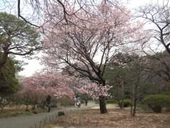 カンザクラ(日本庭園)