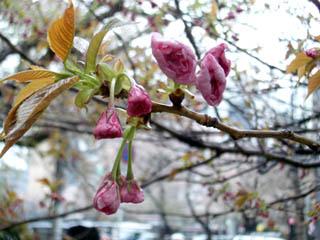 まだまだこれから咲く桜もあるぞ?